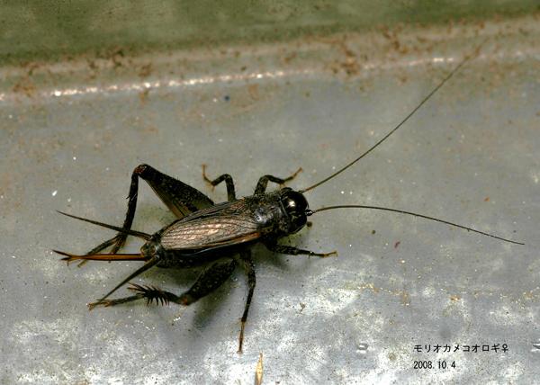 コオロギの画像 p1_30