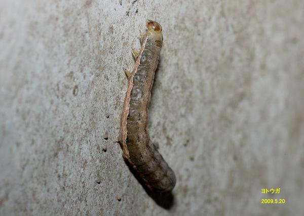 茶色 芋虫